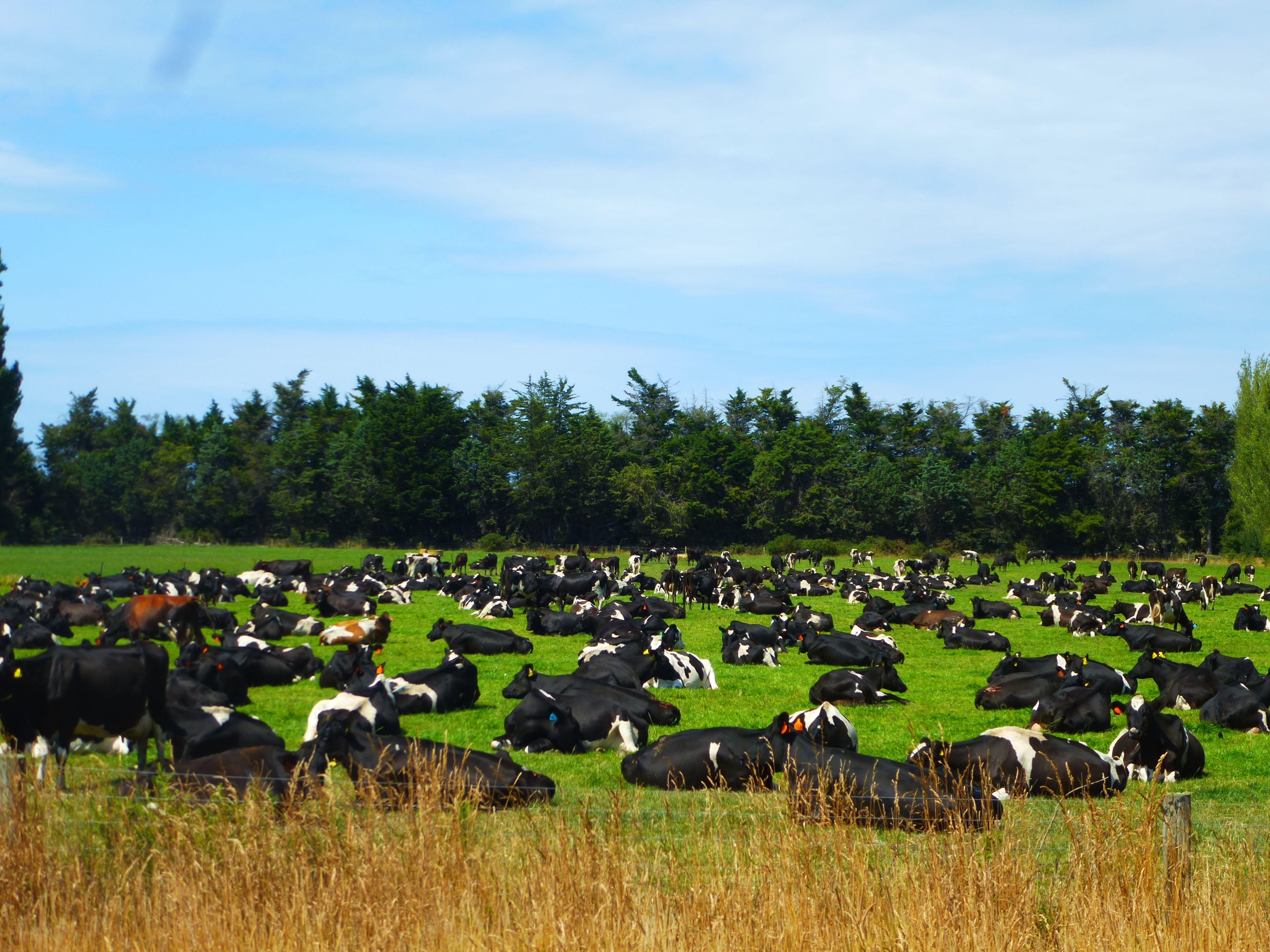 Mooie koppels koeien gezien in Nieuw Zeeland.....